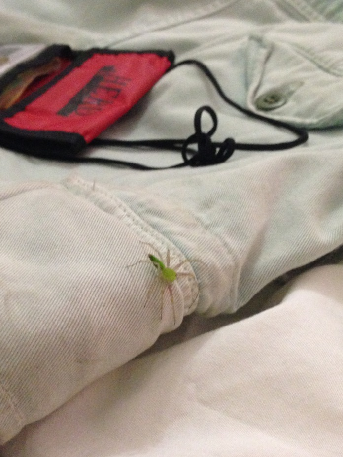 Also in Acayucan I found this spider on my bike shorts. It turns out that if you google a spider you can find find out a lot of things, but not how venomous it is. Can we get a Knowledge Graph for this?